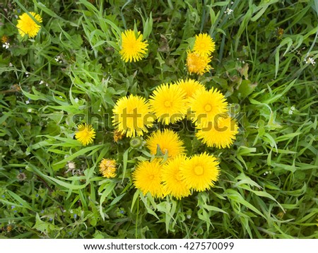 Yellow dandelions the top view - stock photo