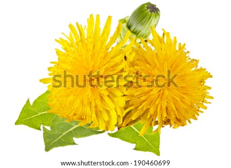yellow dandelions with green leaves on a white background - stock photo