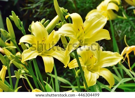 Yellow Day lilies in garden setting. - stock photo