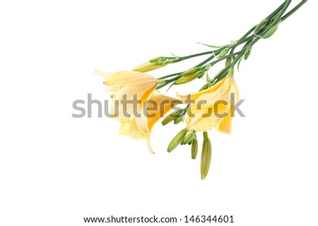 yellow day lilies isolated on white background - stock photo