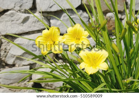 yellow daylily flowers on stone background, local focus, shallow DOF