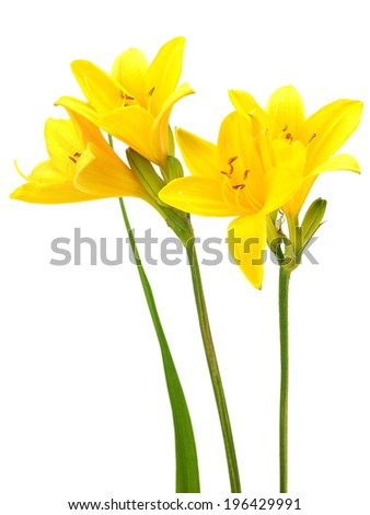 Yellow daylily on a white background
