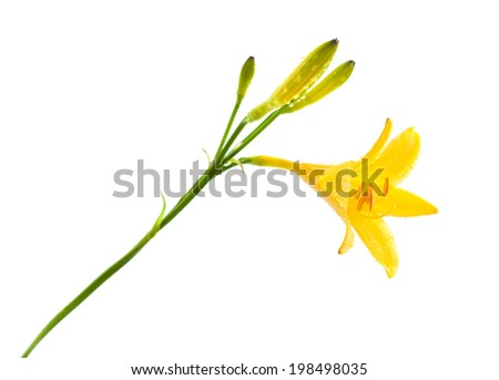 yellow daylily with water drops isolated on white - stock photo