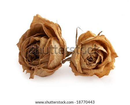 yellow dead rose - stock photo