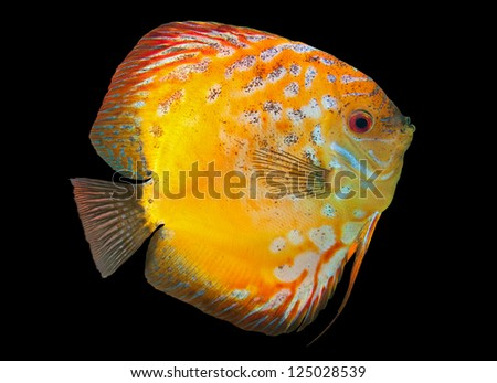 Yellow Discus,  freshwater fish native to the Amazon River, isolated on black - stock photo