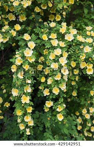 yellow dog rose bush, full bloom panicles at early summer - stock photo