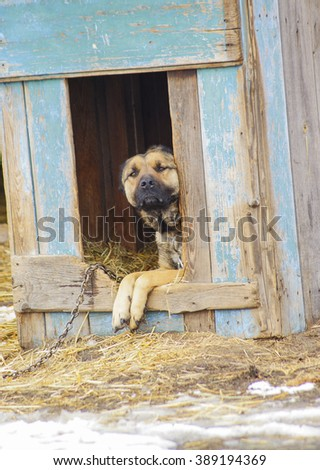 yellow dog with black eyes and nose sitting in old wooden booth on the chain