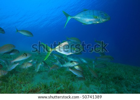 Yellow-dotted Trevallies, Snapppers and Goatfish hunting over seagrass - stock photo