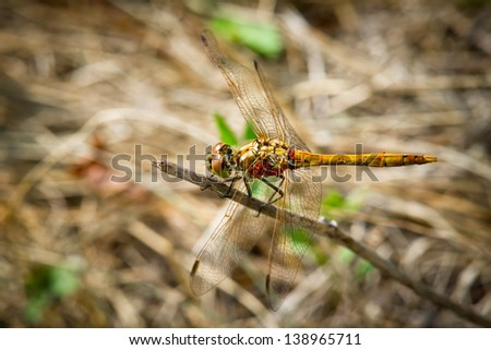 Yellow dragonfly with red velvet mites sitting on a branch - stock photo