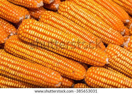 Yellow dried corn bundle and texture background