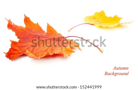 Yellow dry maple leaves on white background, autumn - stock photo