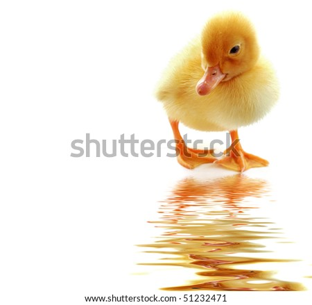 Yellow duckling on  white background - stock photo