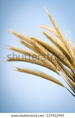 yellow ears of wheat, on blue background - stock photo