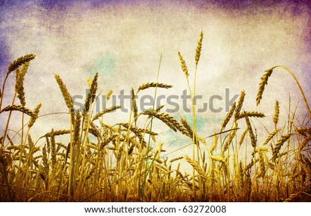 Yellow ears on the field - stock photo