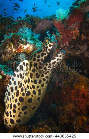 Yellow-Edged Moray Eel (Gymnothorax flavimarginatus). Very rare and amazingly colorful sea eel.  Beautiful underwater life of Nusa Penida, island of Indonesia. - stock photo