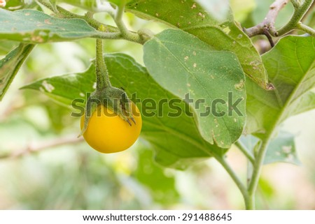 yellow eggplant on tree in garden