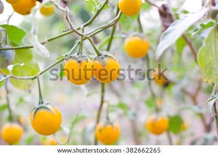 Yellow eggplants on tree - stock photo