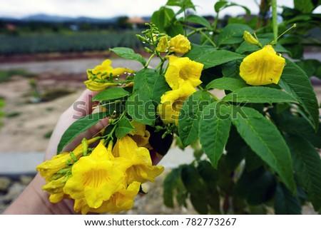 Yellow elder trumpet flower yellow trumpetflower stock photo safe yellow elder trumpet flower yellow trumpet flower yellow trumpet bush mightylinksfo