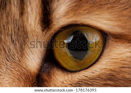 Yellow eye of adult siberian cat close-up