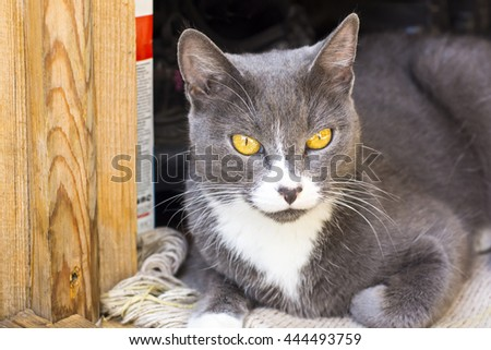 Yellow eyed grey cat