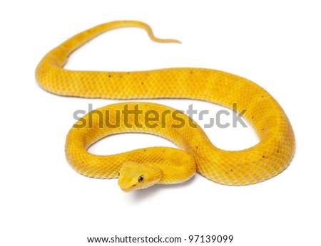 Yellow Eyelash Viper - Bothriechis schlegelii, poisonous, white background - stock photo