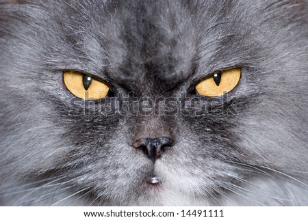 Yellow eyes of a cat are photographed a close-up