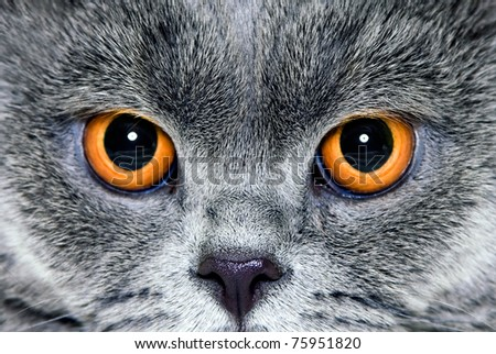 Yellow eyes of a grey British cat