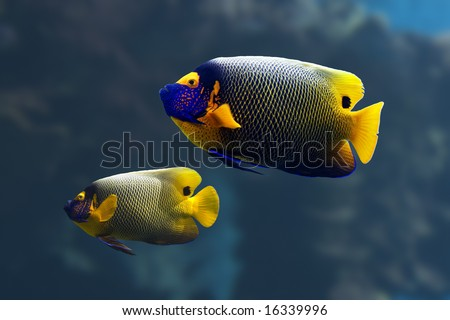 Yellow-faced Angelfish (Pomacanthus xanthometapon) swimming over a tropical coral reef. - stock photo