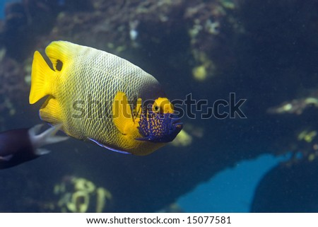 Yellow-faced Angelfish  (Pomacanthus xanthometapon) swimming over coral reef, in clear water.