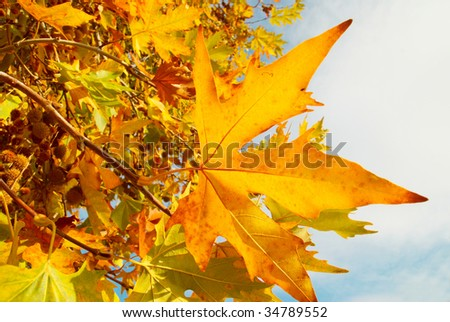 Yellow fall leaves. - stock photo