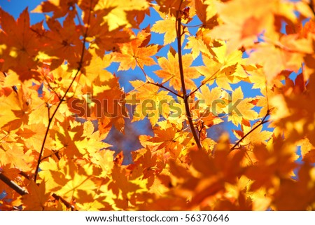 yellow fall maple leaves natural background
