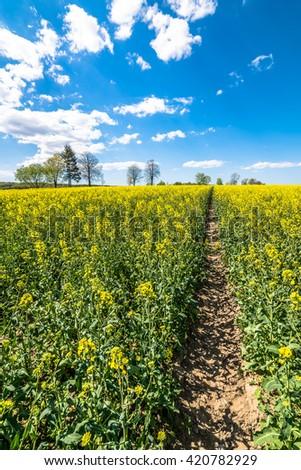 Yellow field of canola, blue sky on the horizon, landscape - stock photo