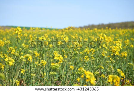 Yellow field of colza culture in Bulgaria nature background - stock photo