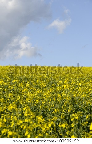 Yellow field of colza flower and blue sky with clouds