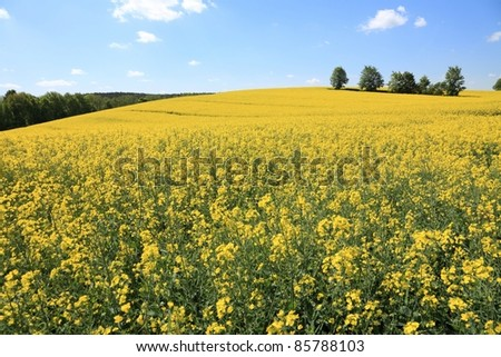 Yellow field rape in bloom with blue sky and white clouds - stock photo