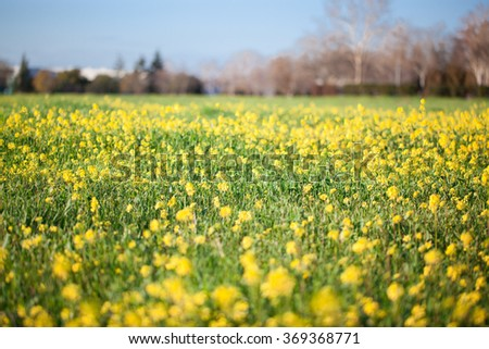 Yellow field rapeseed in bloom in Spring - stock photo