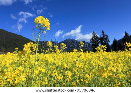 Yellow field rapeseed in bloom with blue sky and white clouds in taiwan - stock photo