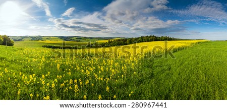 Yellow field rapeseed in bloom with blue sky and whiteclouds