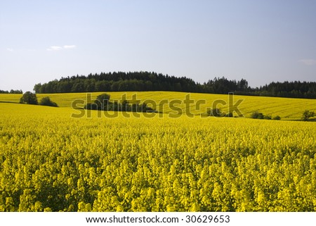 Yellow field with rapeseed (grown for biofuel)