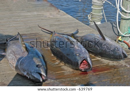 Yellow Fin Tuna - stock photo