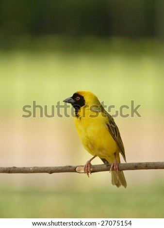 Yellow finch sitting on a perch