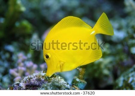 Yellow Fish - stock photo