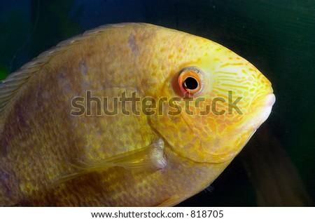 Yellow Fish Closeup - stock photo