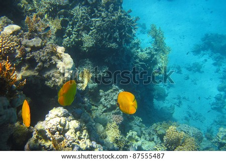 yellow fish on a coral reef in the red sea