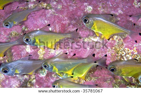 yellow fish with pink rock in background - stock photo
