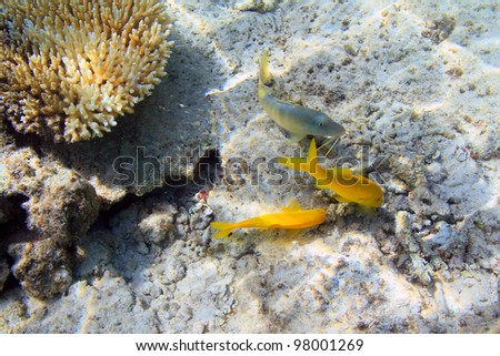 Yellow fishes and coral reef of Red Sea, Egypt