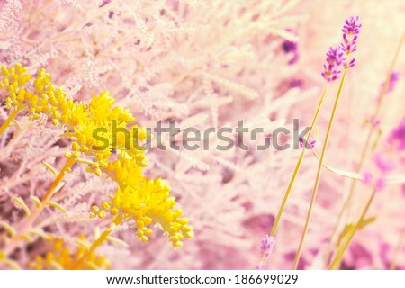 Yellow flower and lavender - stock photo