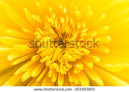 Yellow flower background. Chrysanthemum flower close-up.