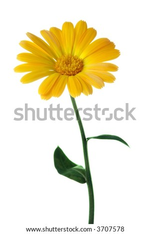 yellow flower calendula over white