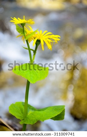 yellow flower color. green stalk . on blurred background creek .